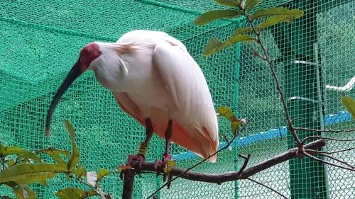 中韓友誼之鳥朱鹮將在昌寧野化放生
