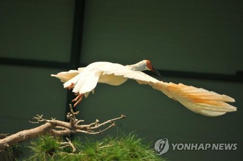 南韓40隻人工繁殖朱鹮野化放歸