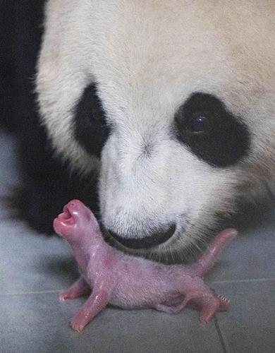 熊貓母女 韓聯社/愛寶樂園供圖(圖片嚴禁轉載複製)