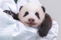 南韓愛寶樂園為熊貓寶寶公開徵名