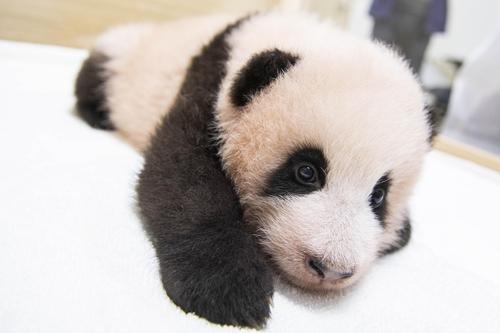 """首只在韓出生大熊貓取名""""福寶"""""""