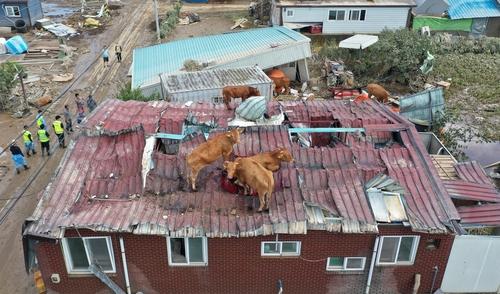資料圖片:8月9日,牛為躲避暴雨爬上屋頂。 韓聯社