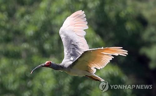 南韓42年來首次有野生朱鹮雛鳥誕生