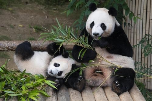 愛寶樂園辦熊貓周活動為福寶一週歲慶生