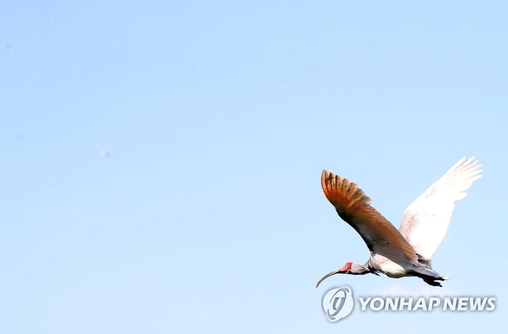 資料圖片:南韓第198號天然紀念物——朱鹮 韓聯社