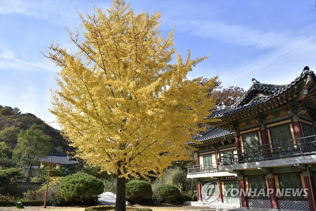金色銀杏樹