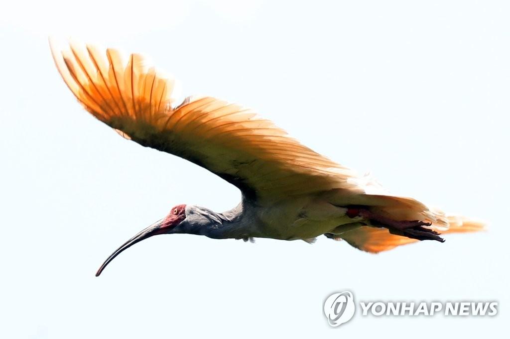 資料圖片:2020年5月28日下午,在慶尚南道昌寧郡,朱鹮振翅高飛。 韓聯社