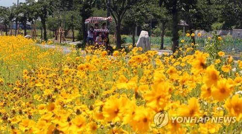鏡浦湖的金雞菊