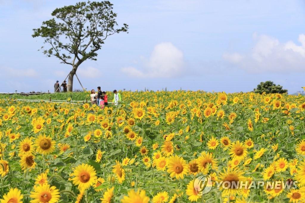 資料圖片:7月31日,在濟州道西歸浦市安德面,遊客們在向日葵花叢中盡享夏日時光。 韓聯社