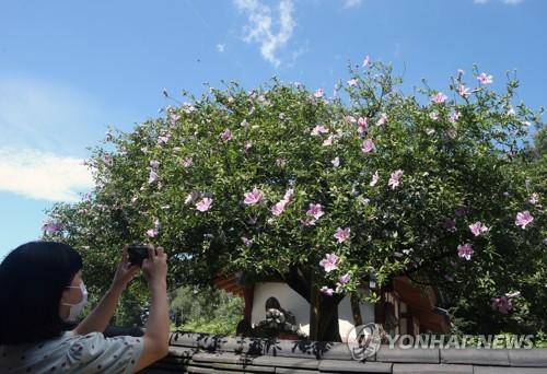 最高齡木槿樹