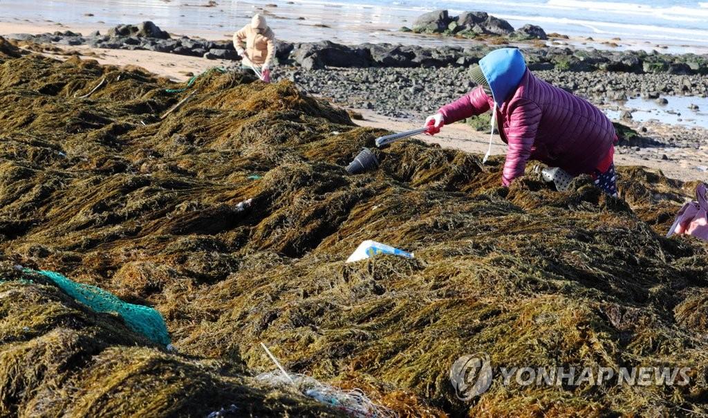 濟州沿海被自華流入銅藻和海洋垃圾包圍