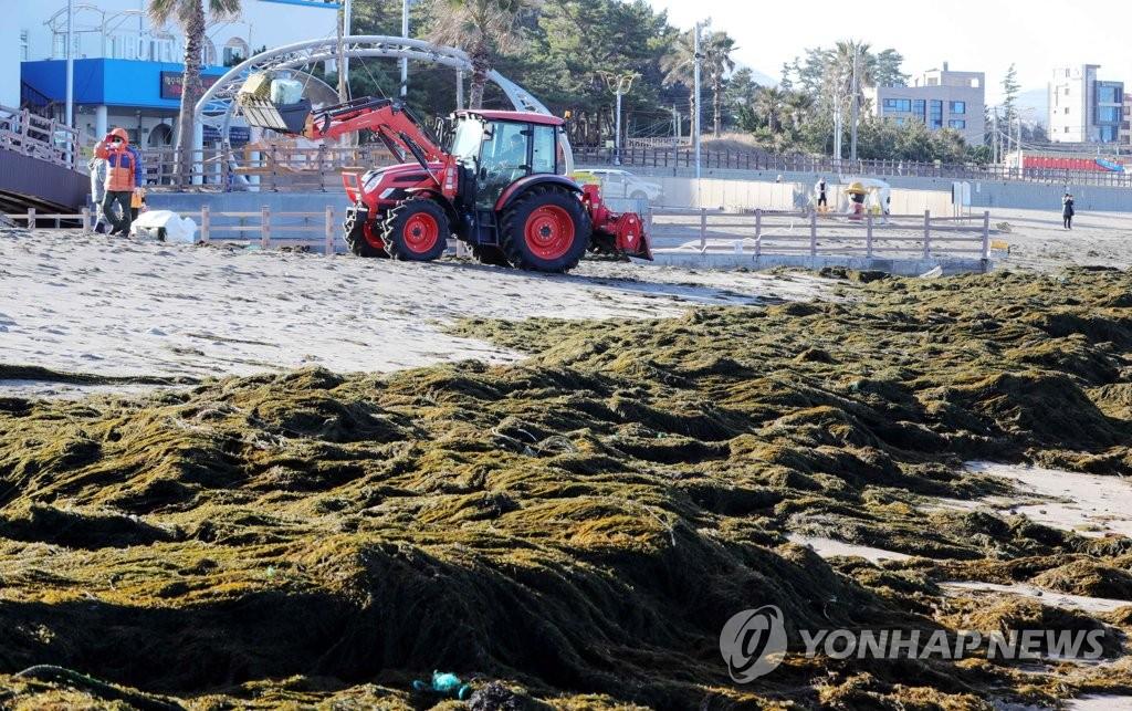 1月19日,在濟州道濟州市梨湖海水浴場,工作人員在清除銅藻。 韓聯社
