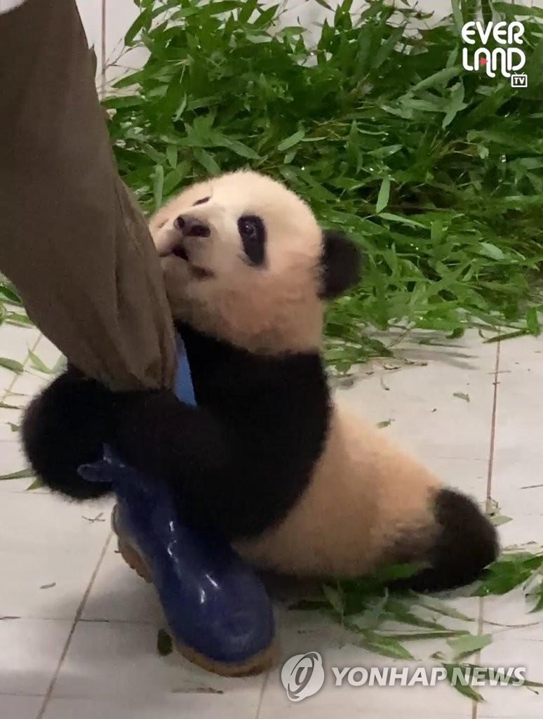 南韓愛寶樂園舉行熊貓福寶粉絲大賽