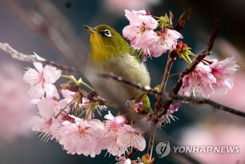 櫻花樹上繡眼鳥