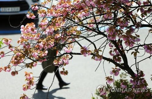 復瓣櫻花綻放