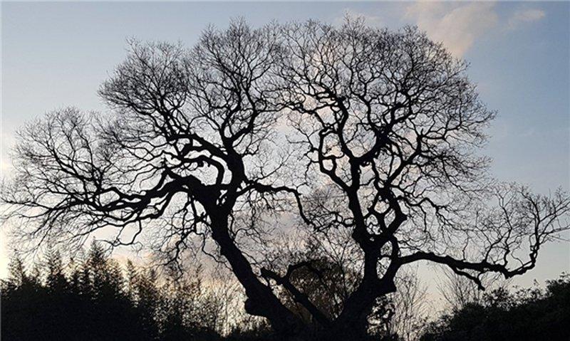 全羅北道530歲古朴樹