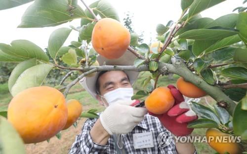 採摘甜柿子