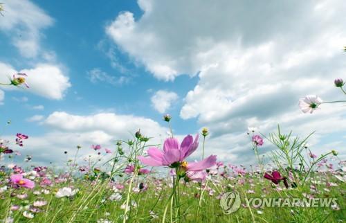 盛開的波斯菊