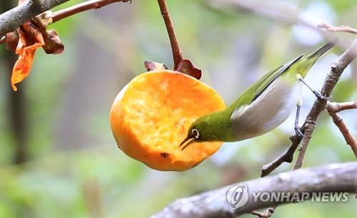 繡眼鳥吃柿子